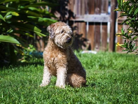 goldendoodle puppy exercise exercise ideas for your goldendoodle and you