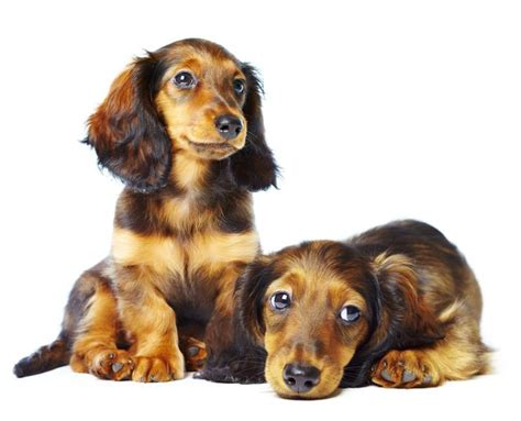 dachshund breed dachshund haired breed pictures breeds picture