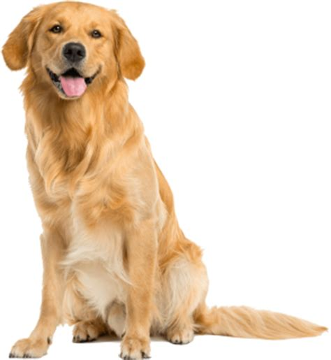 what to look for in a golden retriever puppy golden retriever comfort canine