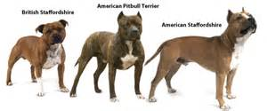 Types of Pit Bull Breeds   Pets World