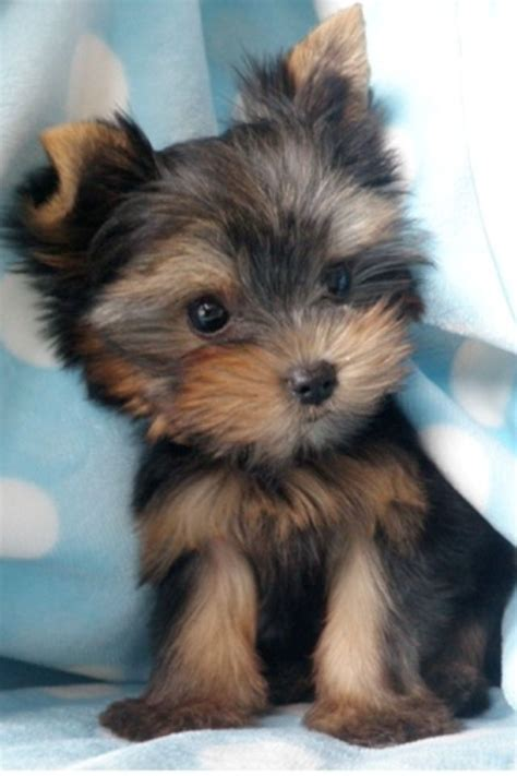 yorkie small yorkie puppy my zoey used to be this small she s a bigger now wish i could