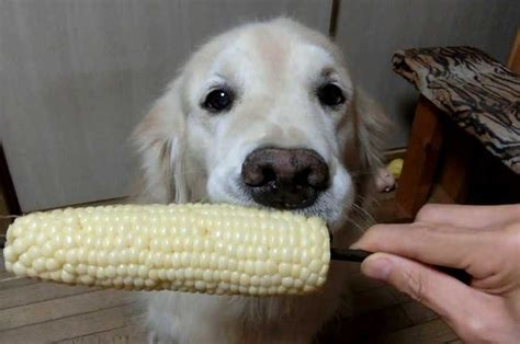 how much should a golden retriever puppy eat what should golden retriever eat dogs our friends photo
