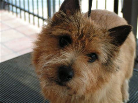 norwich terrier puppies home uniquenorwichterriers