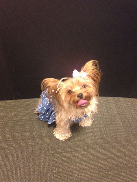 are yorkies family dogs top dogs oh yorkie american kennel club
