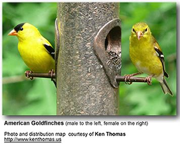 american or eastern goldfinch carduelis tristis