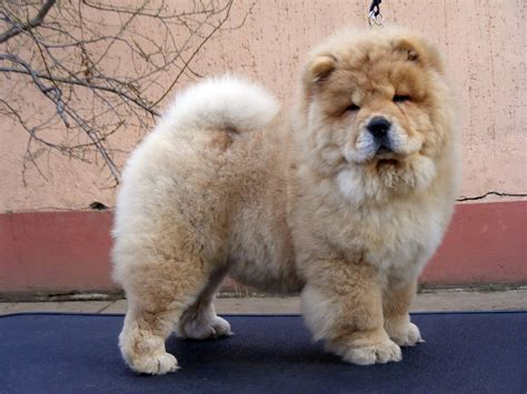chow puppy for sale puppy chow chow dogs for sale foto 2017