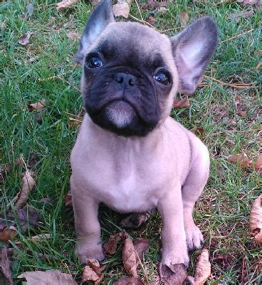 hemivertebrae in pugs pug puppy breeds picture