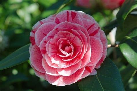camelia fiori camelia camellia sinensis e camellia japonica