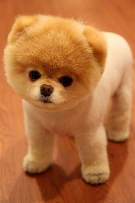 pomeranian teddy boo the teacup pomeranian with a teddy hair cut adorable d