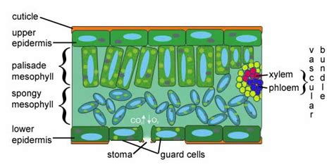 diagram of cross section of a leaf plant science inside the plant growing with science blog