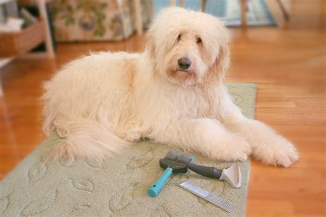 Goldendoodle Shed by Goldendoodle Shedding
