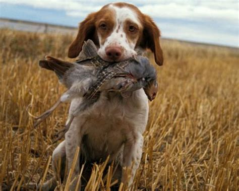 how to dogs to hunt how to dogs