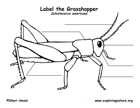 diagram of a grasshopper with label grasshopper labeling page