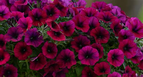 new petunia colors for 2013 wave