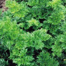 Benih Daun Seledri benih seledri daun sop