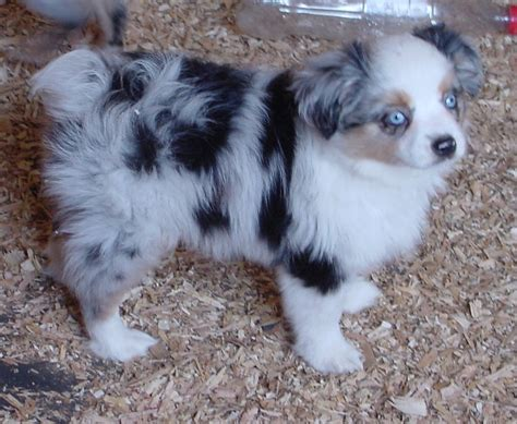 blue merle miniature australian shepherd puppies for sale mini aussies quality family companions show prospects quality