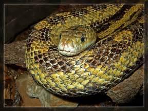 Garden Snake Ohio Yellow Snake Lake Erie Nature Science Center Bay