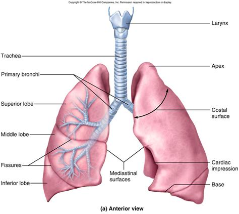 sections of the lungs respiratory system chp 22 part 1 zoology 251 with