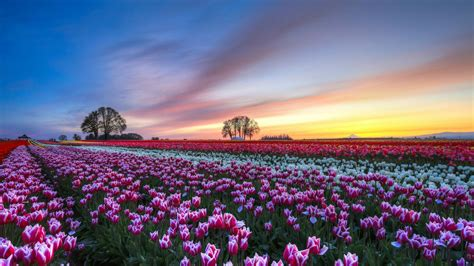 tulip fields tulip fields tulips field flower flowers wallpaper