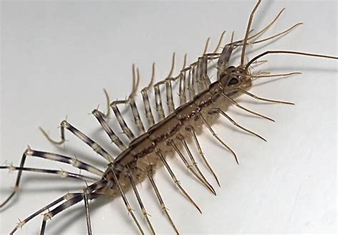 centipede in my bathroom how to get rid of house centipedes without chemicals