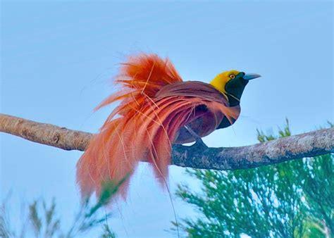 Kaos 3d Bird 3839 raggiana bird of paradise paradisaea raggiana