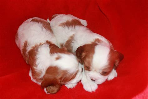 baby puppies for sale cavalier puppies
