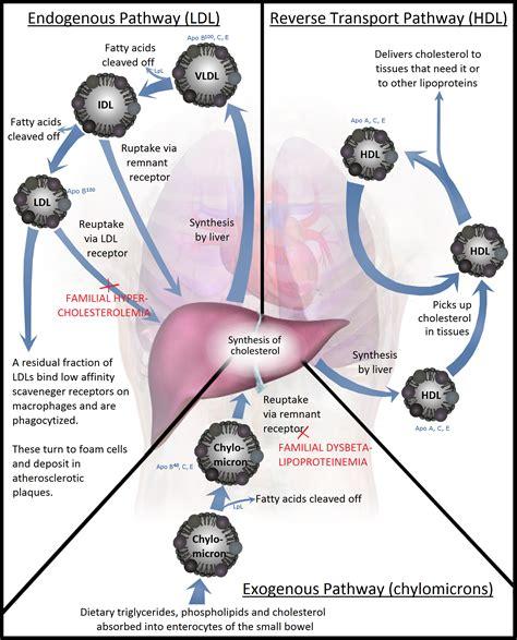 protein 0 cholesterol lipoproteins vldl prebeta lipoproteins low density