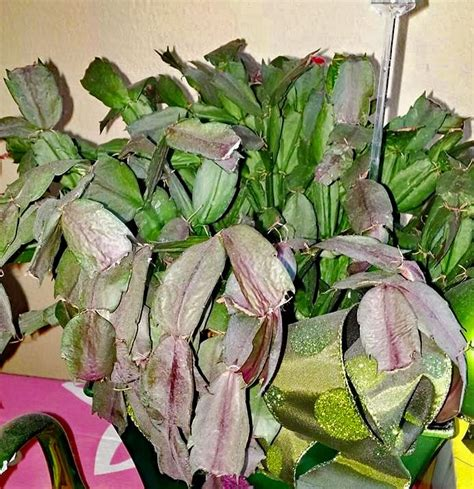 how much darkness do christmas cactus need cactus problems how to treat common diseases of cactus