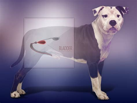 puppy bladder 2015 news feature dogs may help researchers sniff out new cancer detection and