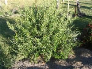 Small Plants For Home - grevilleas com au grevillea apricot glow