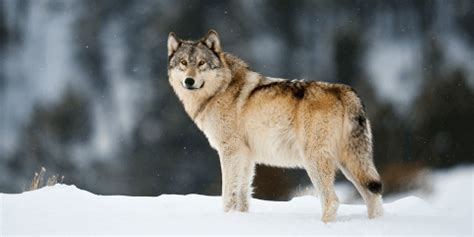 yellowstone s wolves why predators are crucial to the