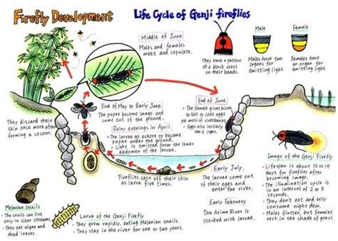 firefly insect life cycle