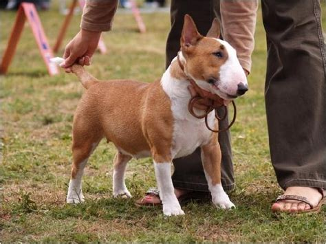miniature bull terrier puppies 17 best ideas about miniature bull terrier on miniature bull terrier