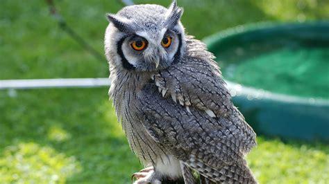 wallpaper owl bird  pray antarctica bird nature