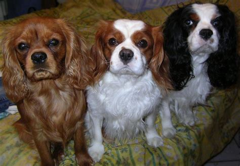 cavalier king charles c archivos mascotas mascotas