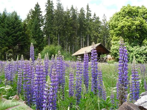 blaue stauden winterhart pflanzen vielfalt der saatgut shop stauden samen beet