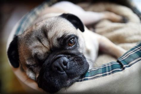 percy the pug percy the pug defies the odds to survive flintshire hit and run ordeal daily post