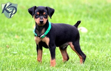 miniature pinscher puppies for sale in pa keystone puppies toy dogs miniature and toys on pinterest