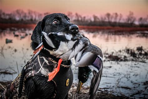 how to a to duck hunt the x land duck in kansas waterfowl realtree