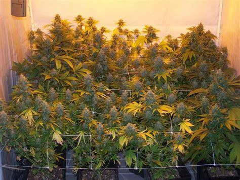 le culture indoor culture du cannabis en pots de terre du growshop alchimia