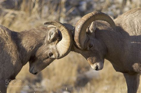 big rams bighorn sheep ovis canadensis pictorial dinosaur archives