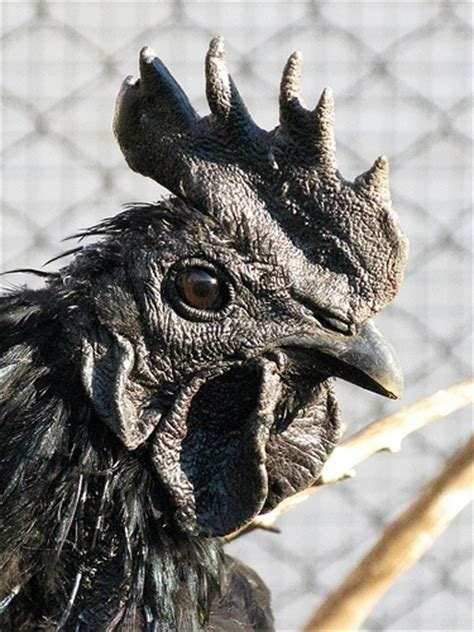 Mainan Ayam Bertelur The Funy Lay Egg Hen 10 best images about chickens ayam cemani on eggs java and farms
