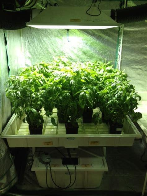 hydroponic basil grow journal week