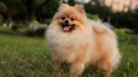 pomeranian wallpaper hd pomeranian wallpapers wallpapersafari