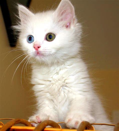 Vans Kitten file turkish cat jpg