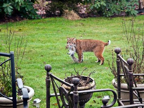bobcat finds backyard squirrels appetizing the spokesman