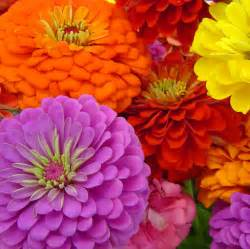 Zinnia Annual Flowers - benary s giant zinnia seed mixed colors