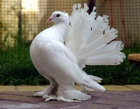 fungugu funny pictures beautiful white pigeon bird