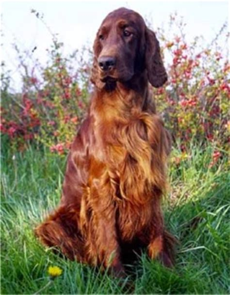 setter dog synonym image gallery setter breeders