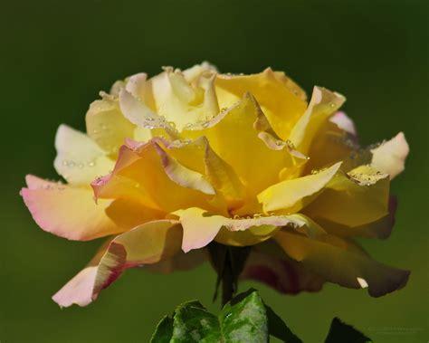design bunga indah image wallpaper 1280 1024 bunga gambar mawar bunga indah